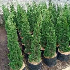 Agen tanaman hias-jual pohon cemara lilin 1m