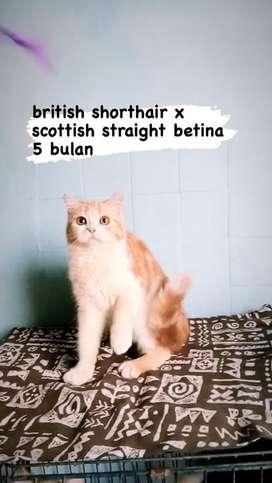 british shorthair betina