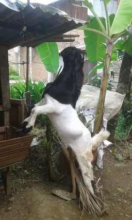 Jual hewan ternak kambing etawa jantan