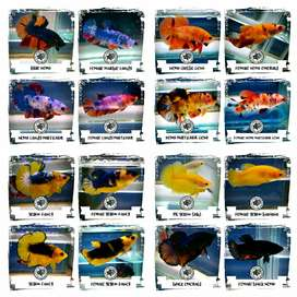 Ikan cupang hias berbagai jenis dan kwalitas ecer atau partaian