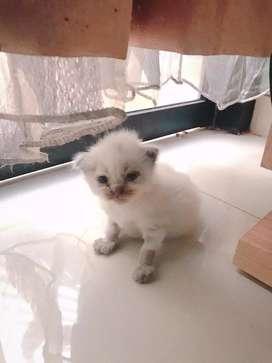Persia kitten lucu