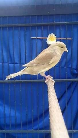Burung kenari betina siap produksi ajiib