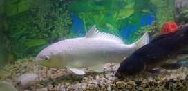 White covey and Black Mor Golden fish pair