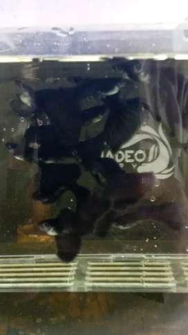 Ikan guppy black moscow size oke sdh siap breed