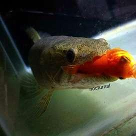 Wolffish malabaricus / hoplias malabaricus