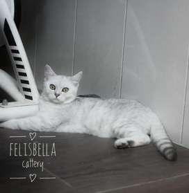 Kucing British Shorthair Silver Spotted Jantan