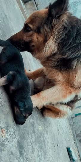 I m selling long coat GSD pupps. Father was black shepherd.