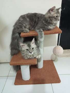 Grey persian cats pair for sale.