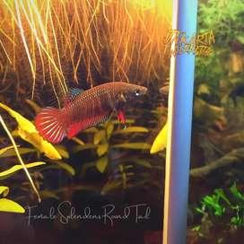 female wild betta splendens round tail - ikan cupang alam