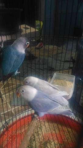 lovebird pasble & cobal 5bln