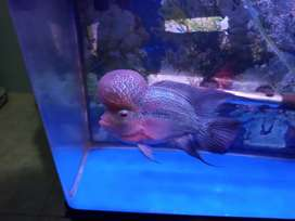 Di jual ikan Lohan super red dragon