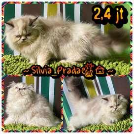Kitten Persia Peaknose Turun Super Riwug LH Big Bone 3 bln Jantan