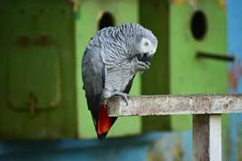 Grey parrot full tacking handtemed