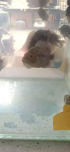 Ikan louhan murah ikan lohan murah sehat jinak aktif jenong progress