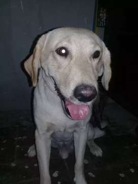 The male Labrador Padigory Dog. Sexually capable and vaccinated.