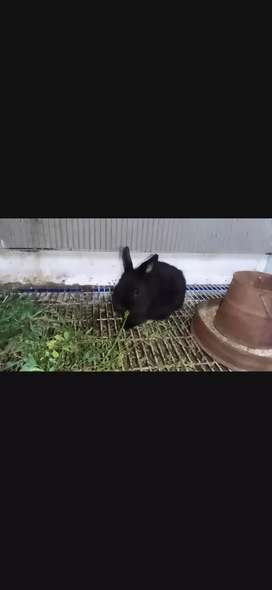 Netherland dwarf male bunny age 2.5 month for sale