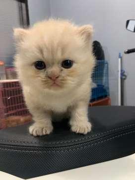 Ready Adopsi Kitten Lucu