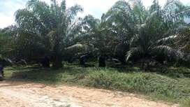 Dijual Perkebunan Sawit Aktif Di Sekadau Hilir Kalimantan Barat