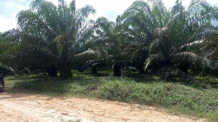 Dijual Perkebunan Sawit Aktif Di Sekadau Hilir Kalimantan Barat 0
