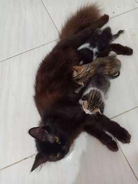 Persia medium dan 3 Anaknya usia 3 minggu,lokasi bengkong sadai