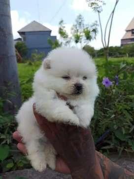 Anjing minipom no mix non stmbm