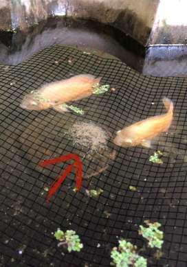 Confirmed oscar breeding pair