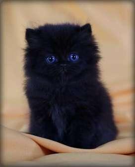 PERSIAN CAT SIAMESE CALLICO MAINCOON TABBY