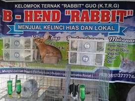 Bihend rabbit bukittinggi