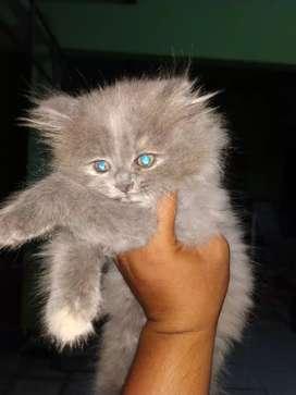 Kucing Persia umur 3 bulan Betina