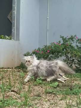 Kucing persia peaknose extreme