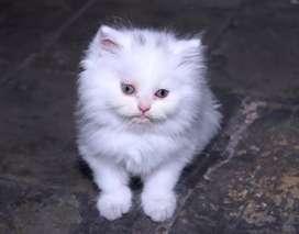 Kucing persia betina usia 2,5 bulan
