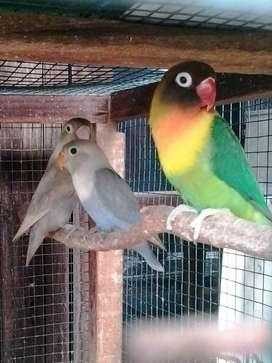 indukan Lovebird kekean sepasang