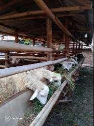 jual kambing domba