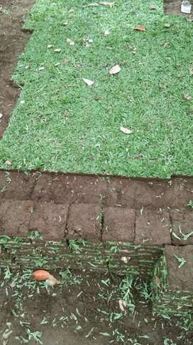 Suplyer rumput hias wilayah morowali