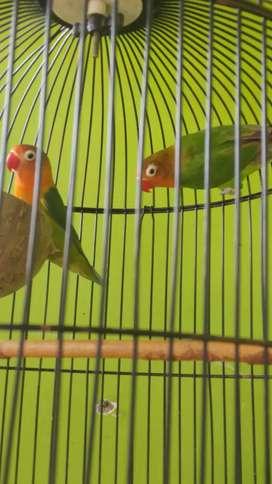 Lovebird paud untulan