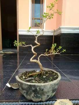 bonsai mame seribu bintang 2