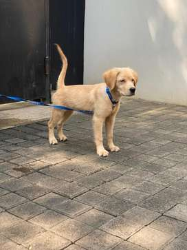 Jual puppy Golden Retriber female