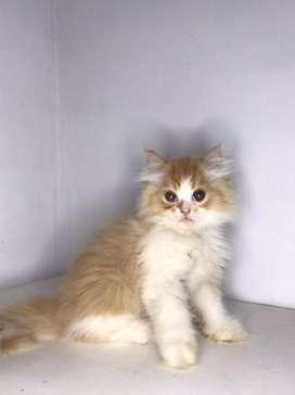 Kucing persia kitten cream