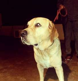 Labrador Male Pedigreed
