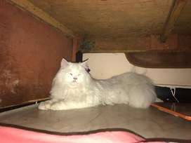 Persian male cat for stud service
