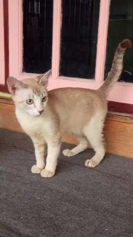 Kucing Siamese Jantan