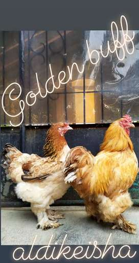 Golden buff couple indukan harga nego