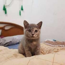 Kucing bsh super, murah. Warna langka
