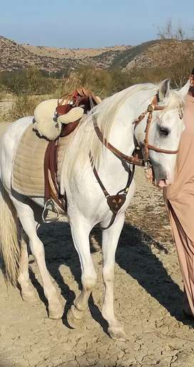 White stallion for sale or exchange with heighted Mare