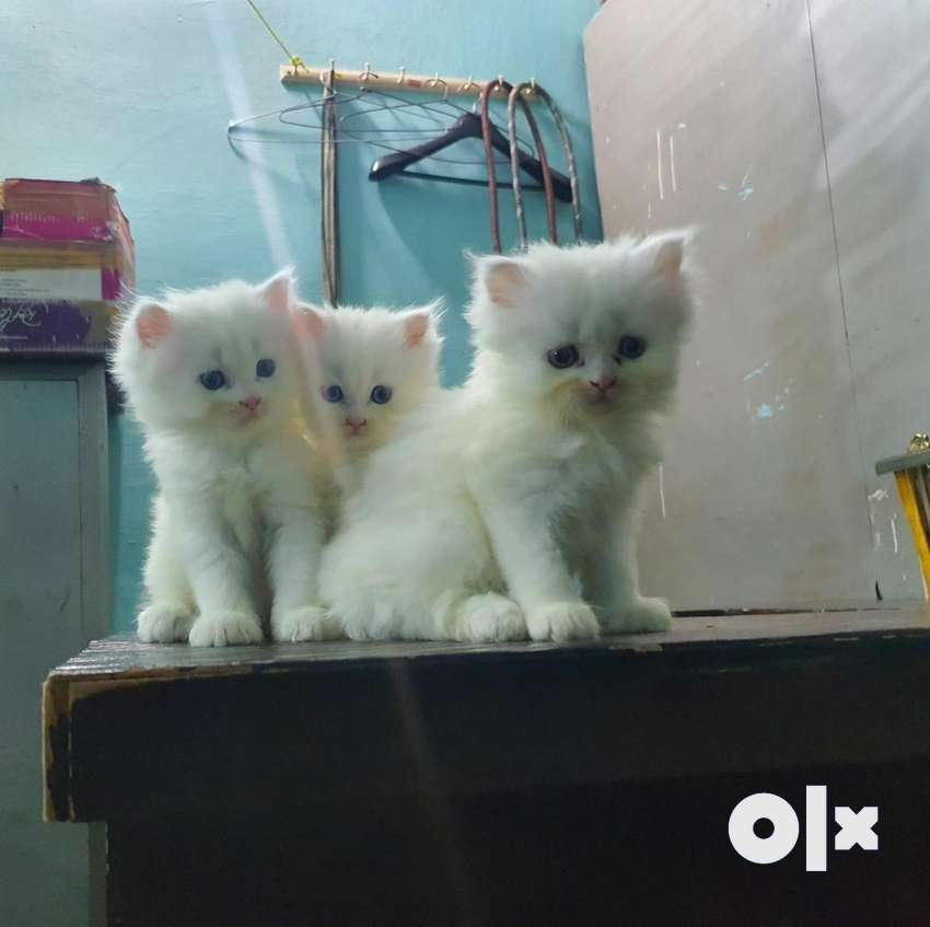 Persian cat kittens available 0