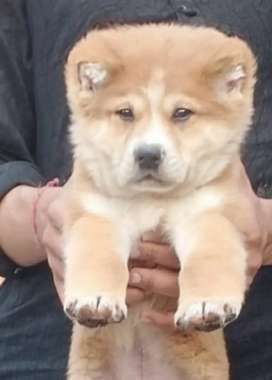 Ala bai dog age 2 month  Male and security dog for sale