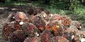 Sawit 8 hektar siap panen