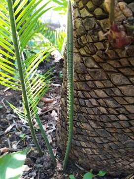 Sago palm, 20 days old
