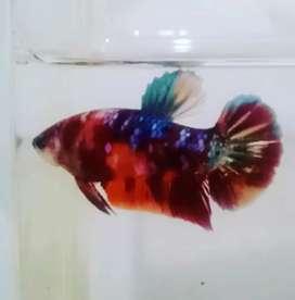 Ikan Cupang Hias Multi Galaxy Female,  full telor