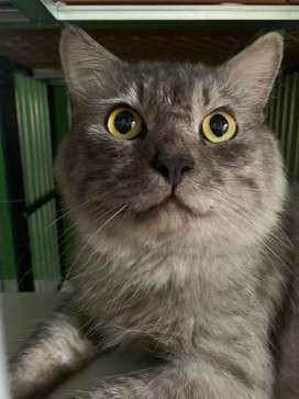 Kucing Jantan Persia Gemuk Besar